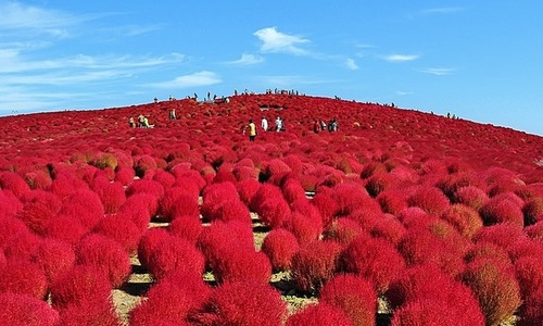 溢れんばかりの秋の魅力。頬を赤く染めたように紅葉するコキアに見惚れて